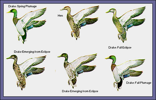 Diving Ducks Eclipse Plumage