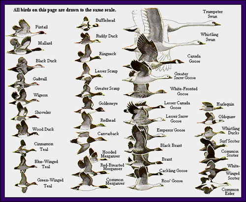 Duck id chart keni ganamas co